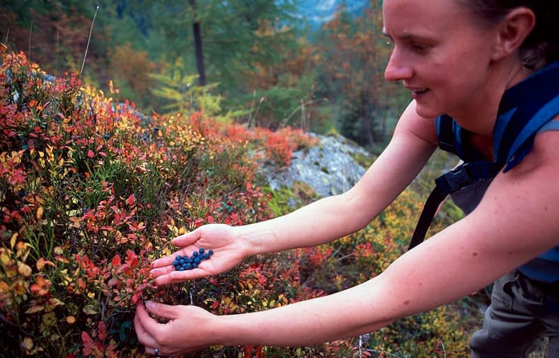 Walker collecting wild blueberries, Tour of Mont Blanc, Swiss Alps, Switzerland.