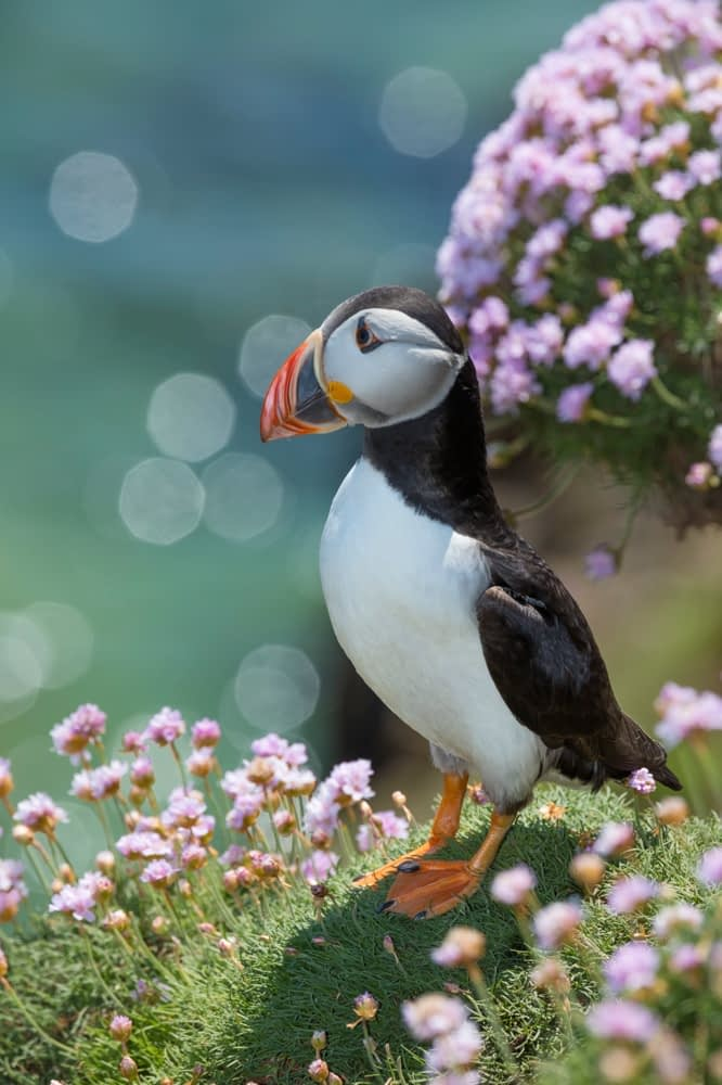 Puffin, Great Saltee Island, County Waterford, Ireland.