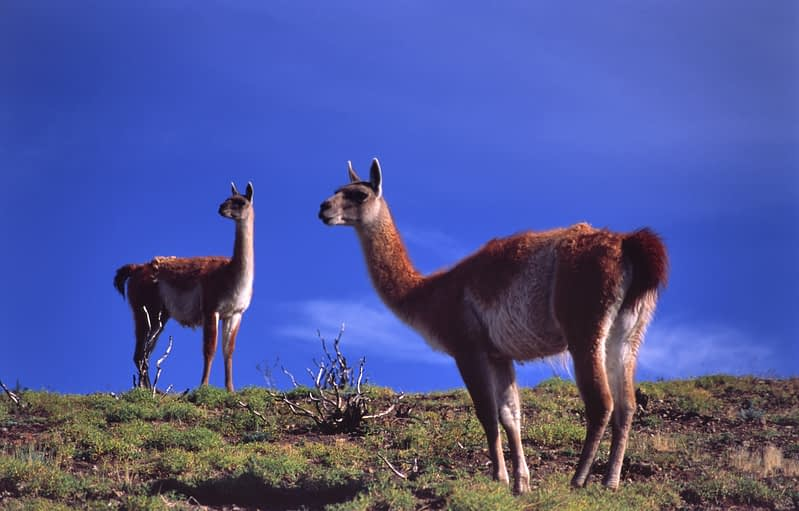 Guanacos, Torres del Paine National Park, Patagonia, Chile.