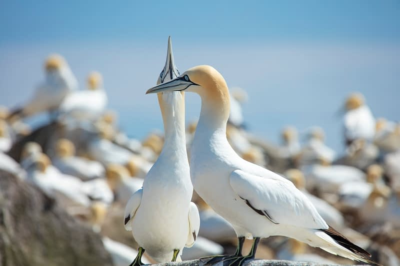Northern Gannets, Great Saltee Island, County Waterford, Ireland.