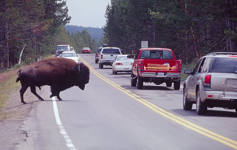 Bison crossing the road, Yellowstone National Park, USA.