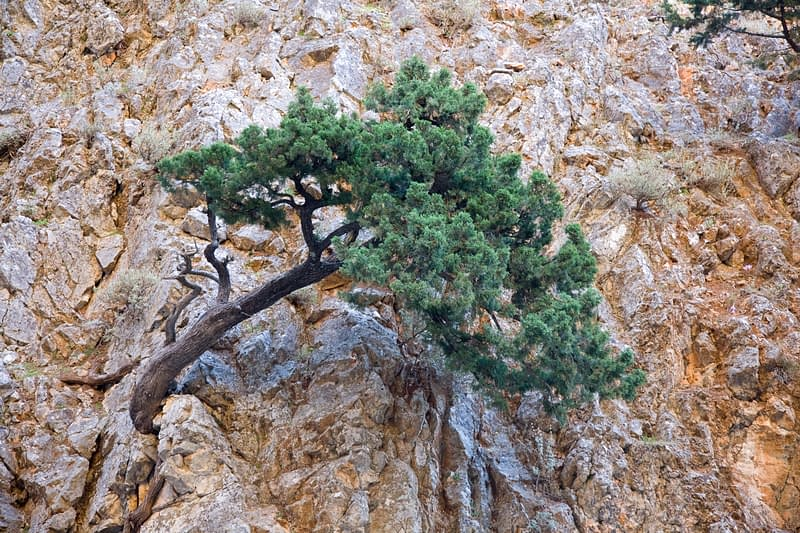 Hardy pine growing out of a rock wall in the Aradena Gorge, White Mountains, Crete, Greece.