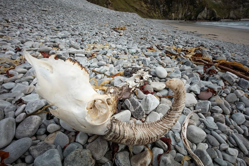 Sheep skull on Keel beach, Achill Island, County Mayo, Ireland.