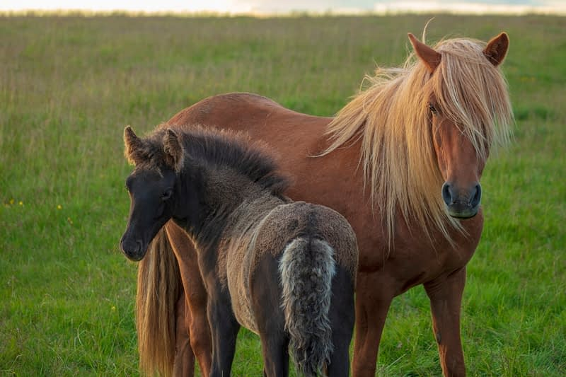 Icelandic horse and foal in a field near Hella, Sudhurland, Iceland.