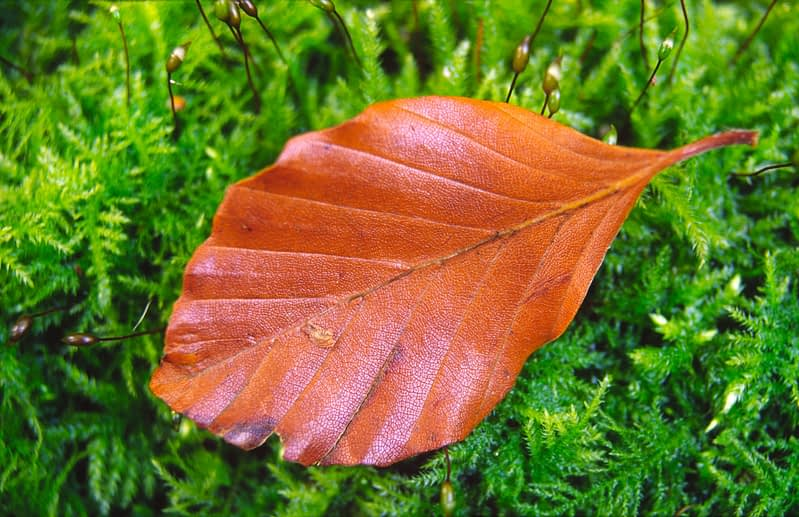 Autumn leaf on moss, Co Fermanagh, Northern Ireland.