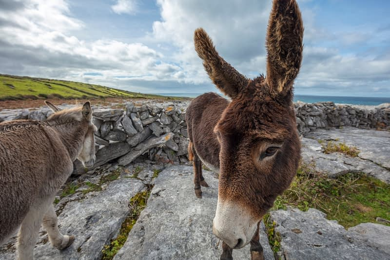 Donkeys on the limestone pavement of The Burren, County Clare, Ireland.