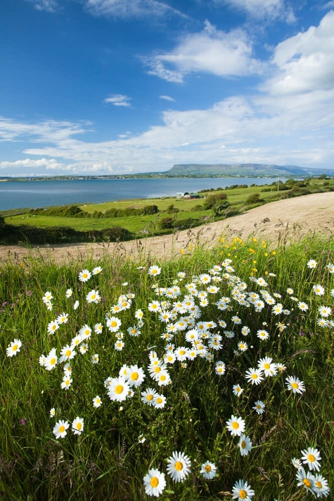 Ox-eye daisies above Sligo Bay, Co Sligo, Ireland.