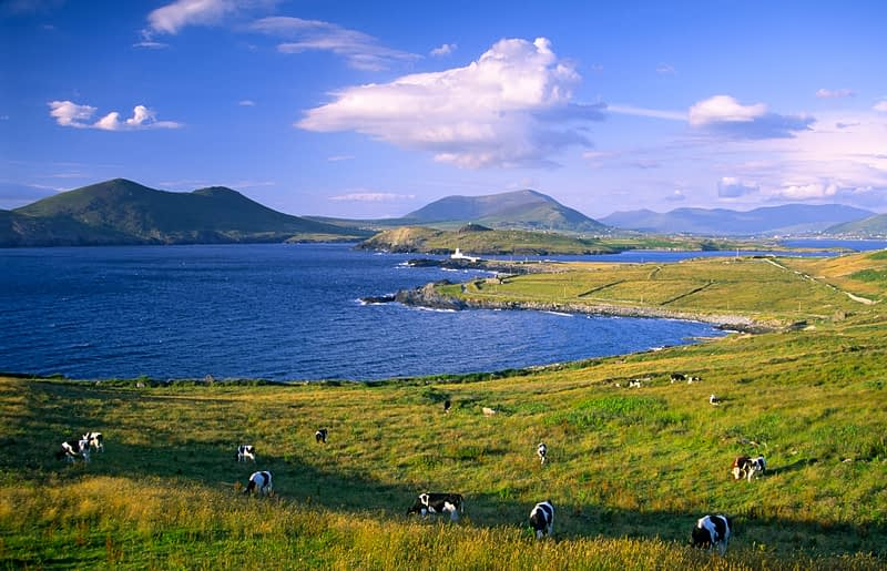 Cows grazing at Doulus Head, Valentia Island, Co Kerry, Ireland.