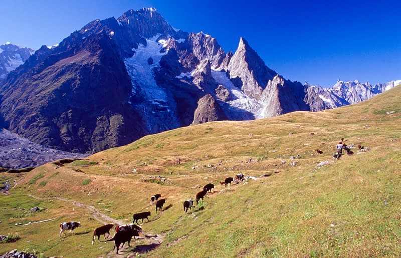 Cow herd beneath the south face of Mont Blanc, Italian Alps, Italy.