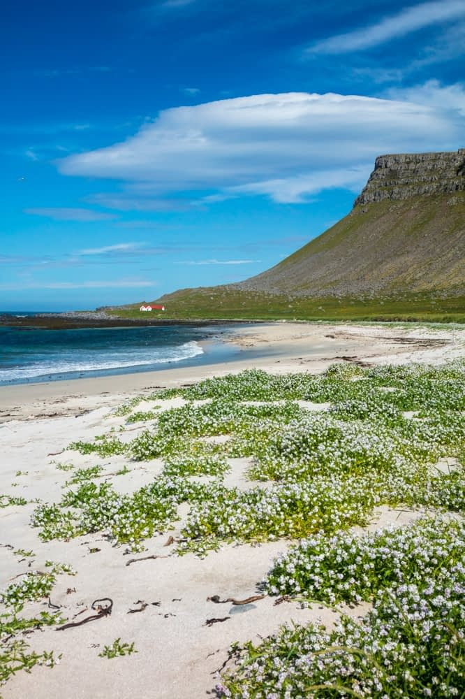 Arctic sea rocket (cakile arctica) blooming on the sandy beach at Breidavik. Latrabjarg Peninsula, Westfjords, Iceland.