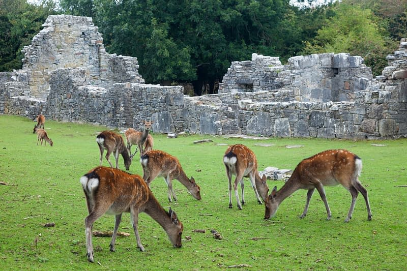 Sika deer and abbey ruins on Innishfallen Island, Killarney National Park, County Kerry, Ireland.
