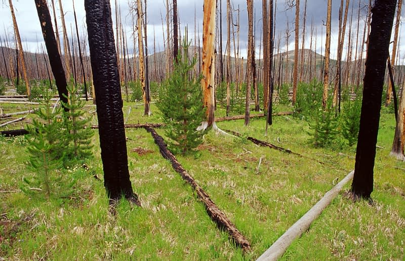Forest regeneration after fire, Yellowstone National Park, Wyoming, USA.