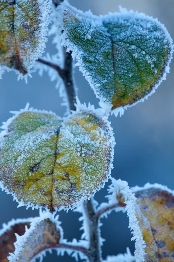 Frosted leaves in winter, Co Sligo, Ireland.