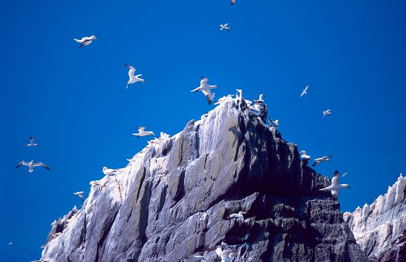 Gannets nesting on Small Skellig, Skellig Islands, Co Kerry, Ireland.
