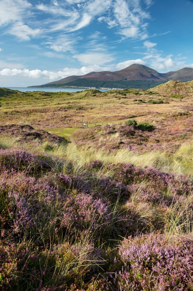 Heather and Mourne Mountains from Murlough Nature Reserve, County Down, Northern Ireland.