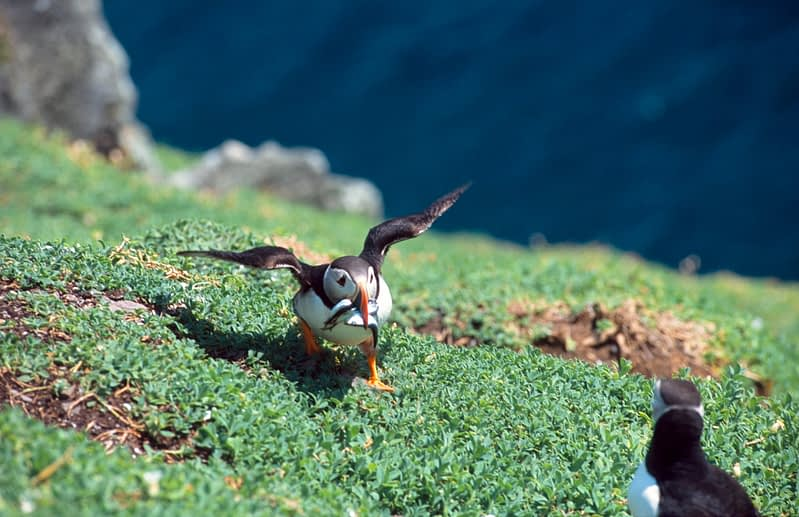 Puffin returning to the burrow with sand eels, Skellig Michael, Co Kerry, Ireland.