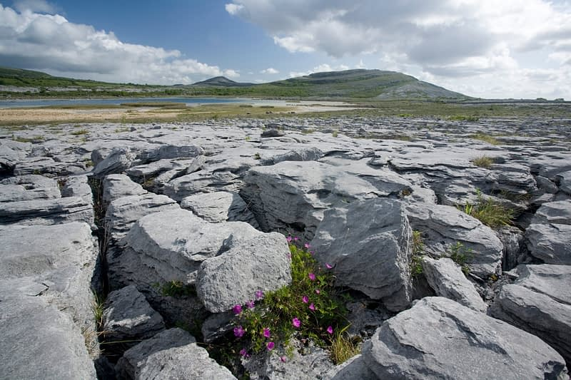 Bloody Cranesbill nestling amongst the limestone pavement of The Burren, Co Clare, Ireland.