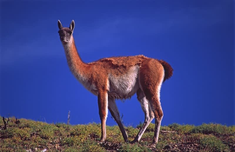 Guanaco, Torres del Paine National Park, Patagonia, Chile.