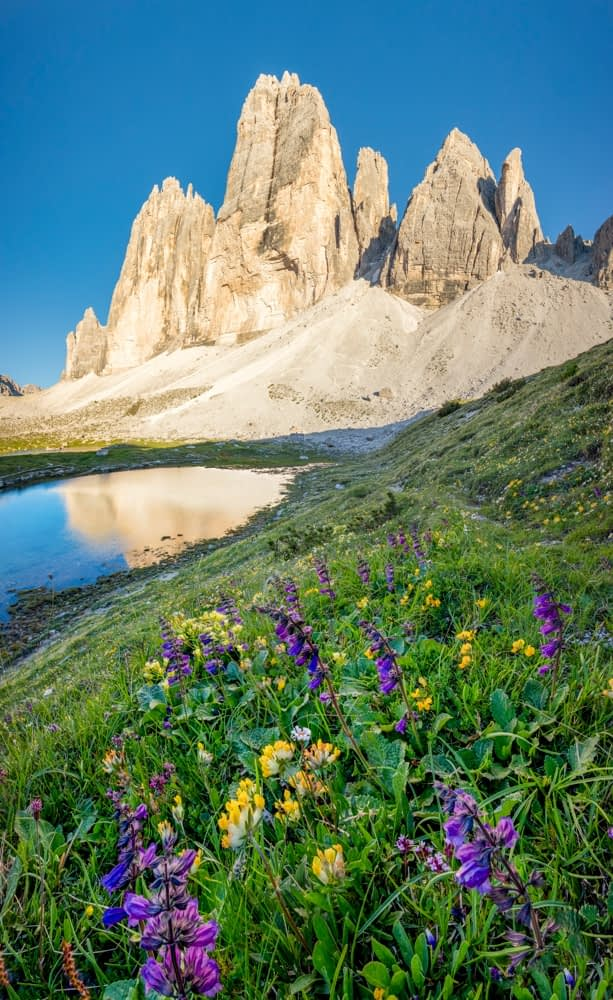 Alpine wildflowers beneath Tre Cime di Lavaredo, Sexten Dolomites, South Tyrol, Italy.