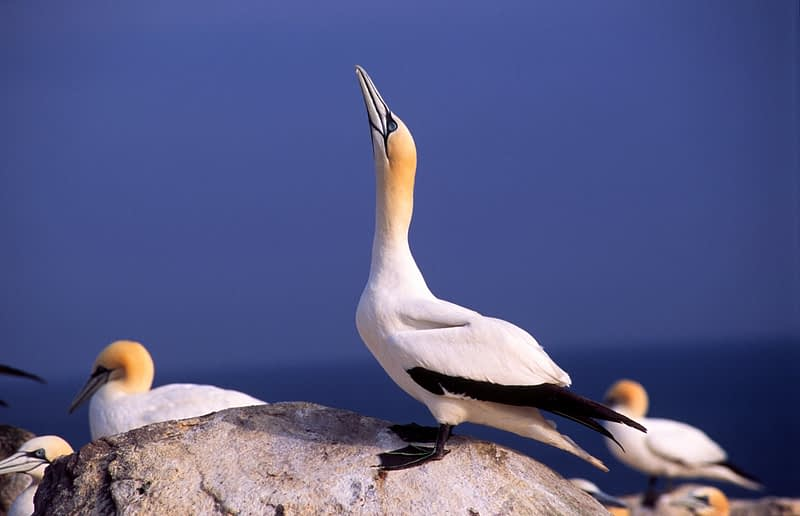 Gannets, Saltee Islands, Co Wexford, Ireland.