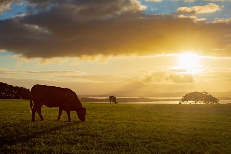 Cattle grazing in a field at sunset, County Sligo, Ireland.
