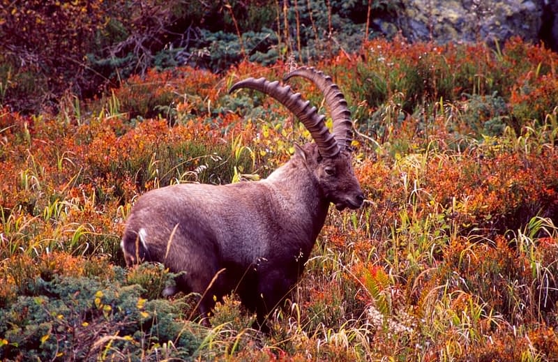 Male Ibex in autumn foliage, French Alps, France.