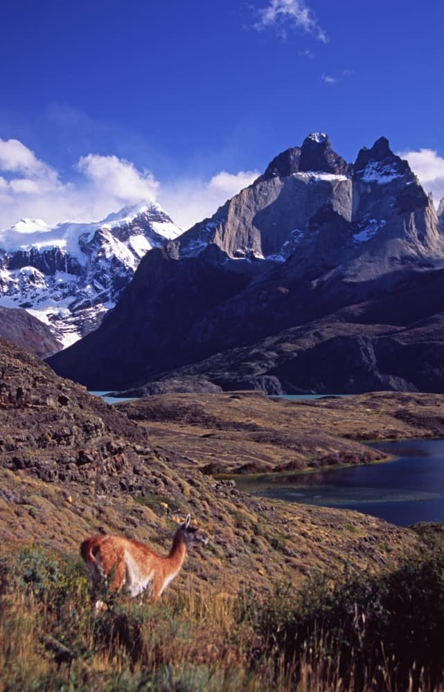 Guanaco beneath the Paine massif, Torres del Paine NP, Patagonia, Chile.