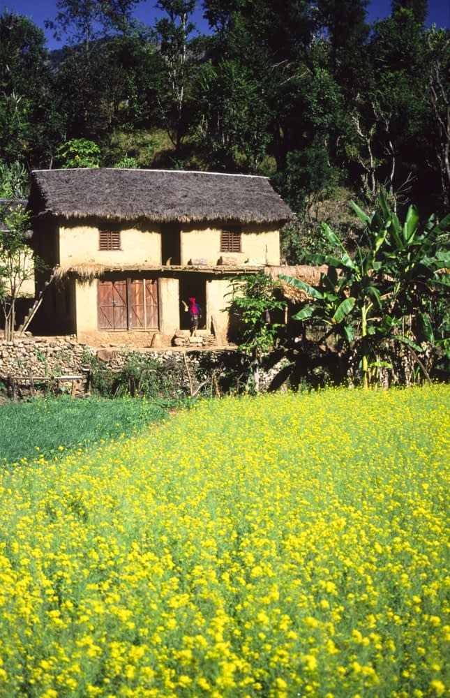 Traditional Tharu home beyond a field of rape seed, Western Nepal.