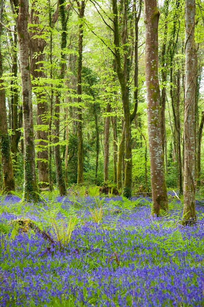 Bluebells carpet the forest floor, Hazelwood, Co Sligo, Ireland.