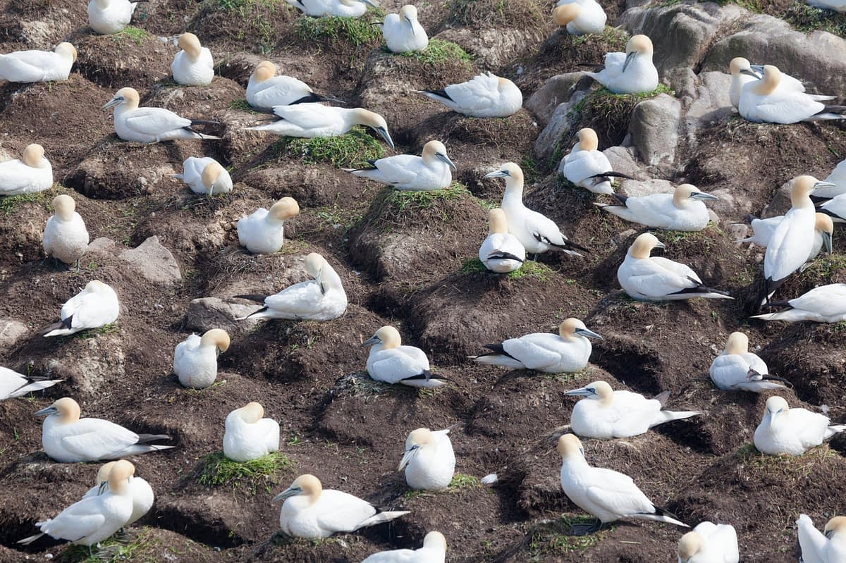 Gannet colony, Great Saltee Island, County Waterford, Ireland.