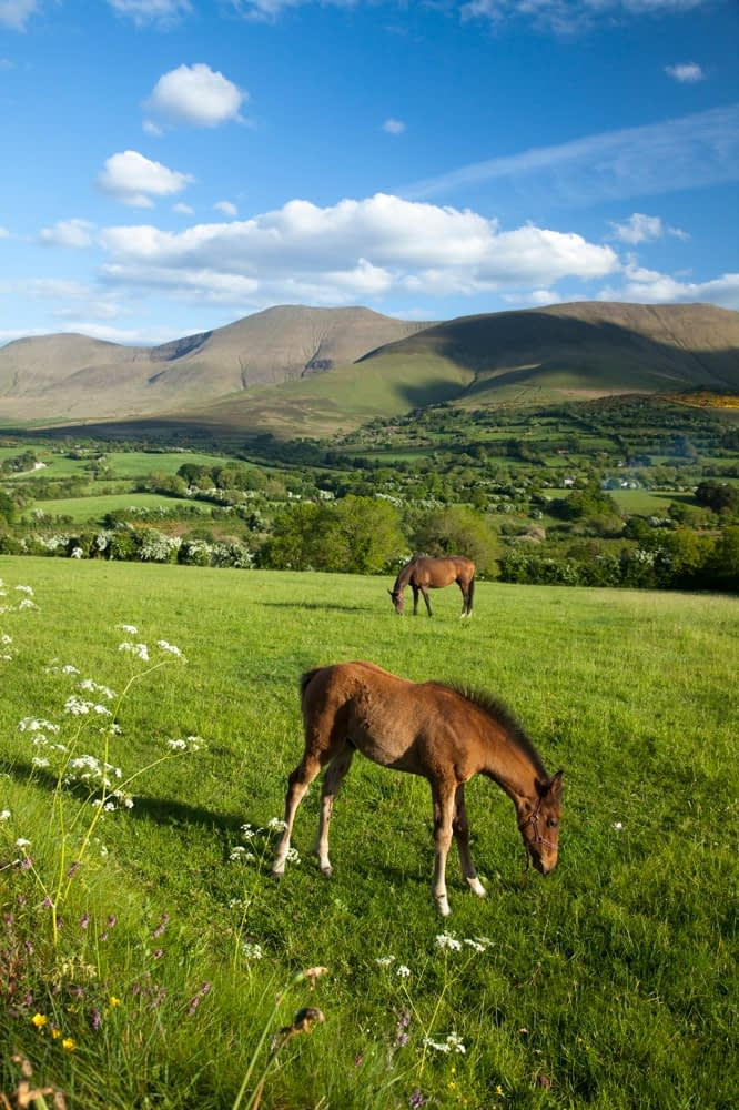 Horse and foal in the Glen of Aherlow, Galtee Mountains, Co Tipperary, Ireland.