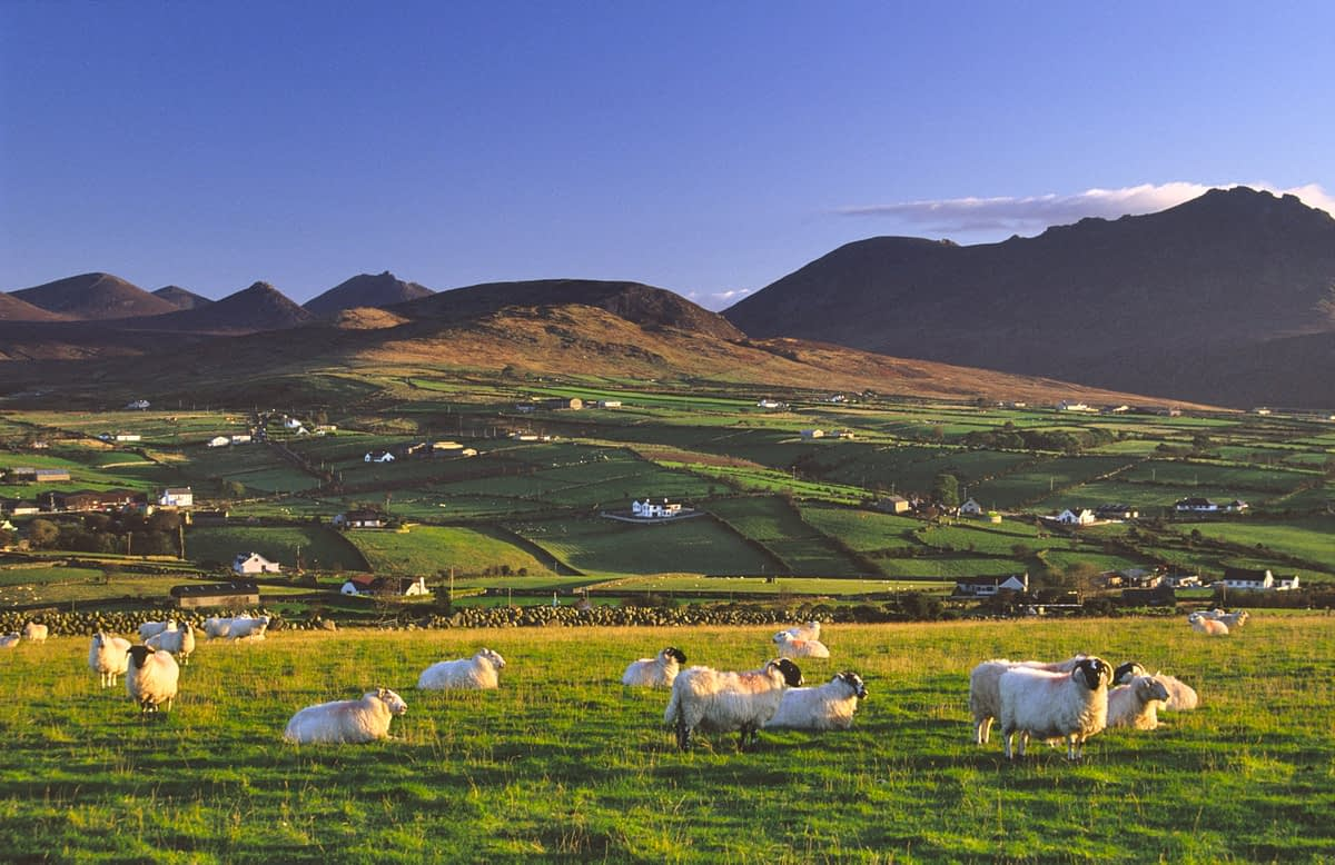 Morning sheep beneath the Mourne Mountains, Aughrim Hill, Co Down, Ireland.