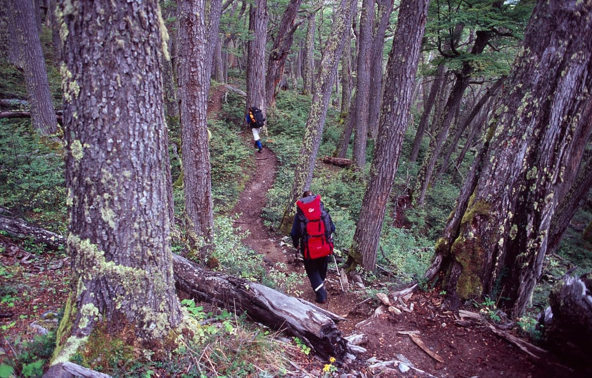 Hiking through a Lenga forest, Paine Circuit, Torres del Paine NP, Patagonia, Chile.