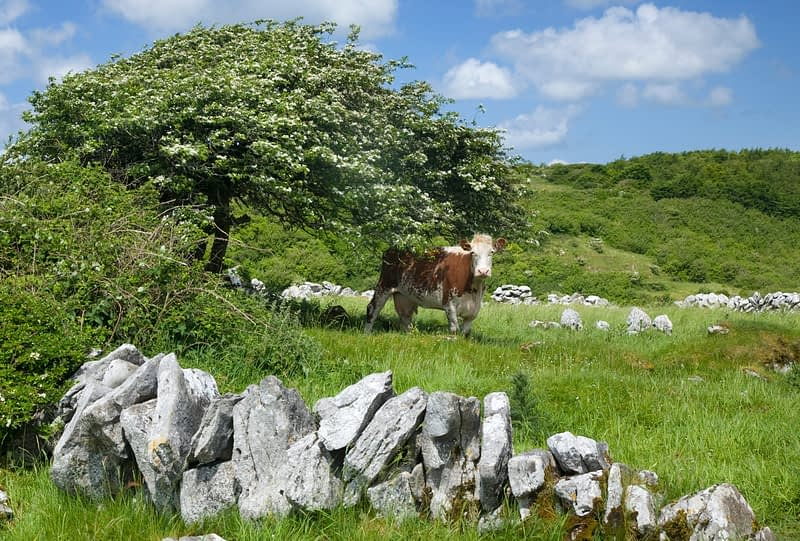 Cow sheltering beneath a hawthorn tree, Co Clare, Ireland.