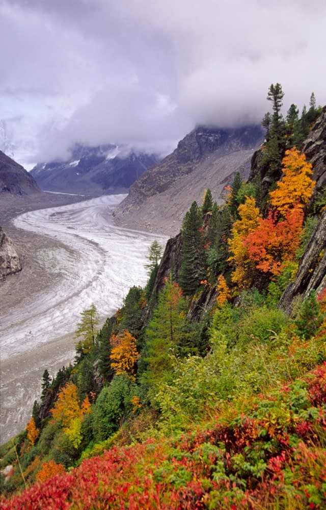Autumn trees beside the Mer de Glace, Chamonix Valley, French Alps, France.