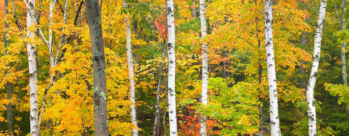 Fall forest, White Mountains, New Hampshire, USA.