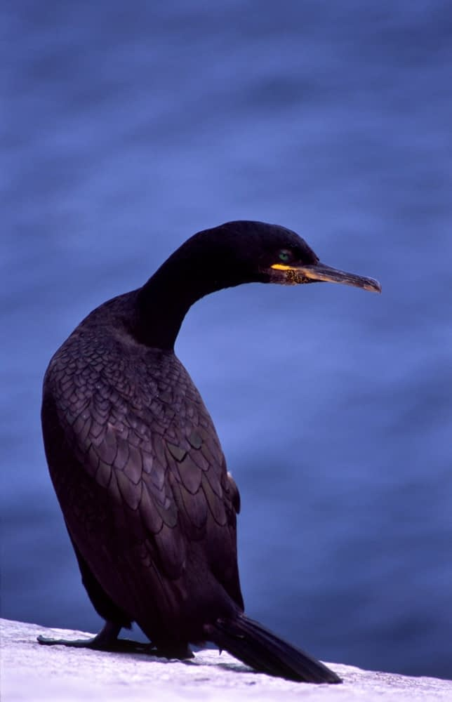 Shag, Saltee Islands, Co Wexford, Ireland.