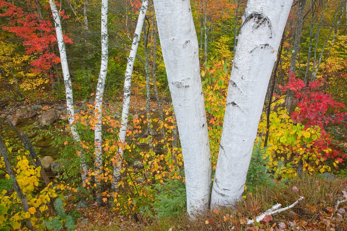 Birch trunks and fall colours, White Mountains, New Hampshire, USA.