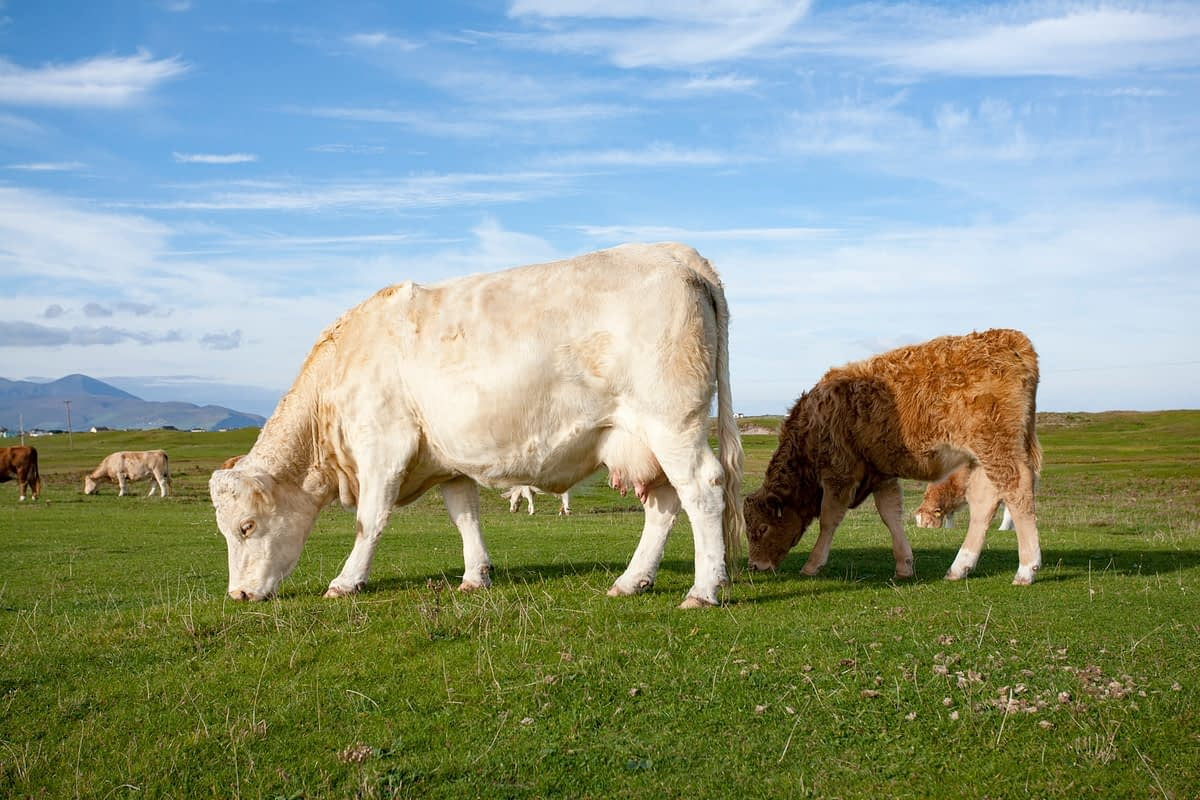 Cattle grazing on machair, The Magherees, Dingle Peninsula, County Kerry, Ireland.