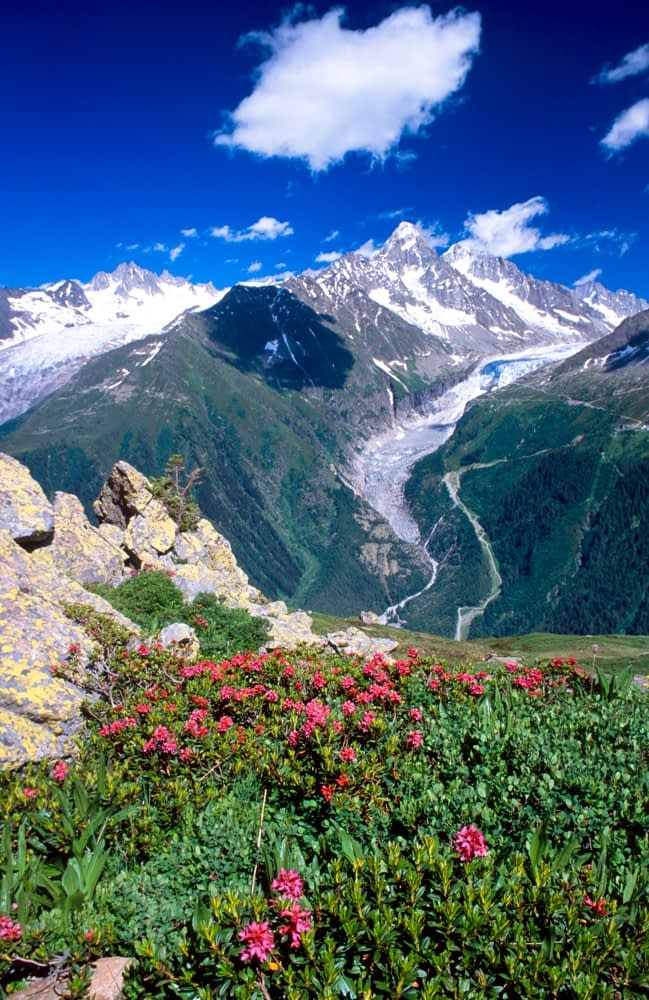 Alpenrose and the Argentiere Glacier, Chamonix Valley, French Alps, France.