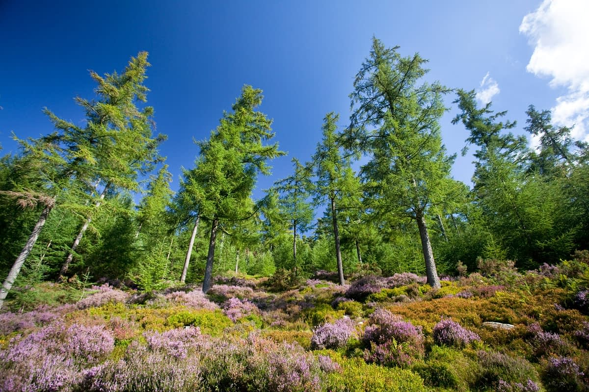 Sika spruce and purple heather, Glendalough, Wicklow Mountains National Park, Co Wicklow, Ireland.