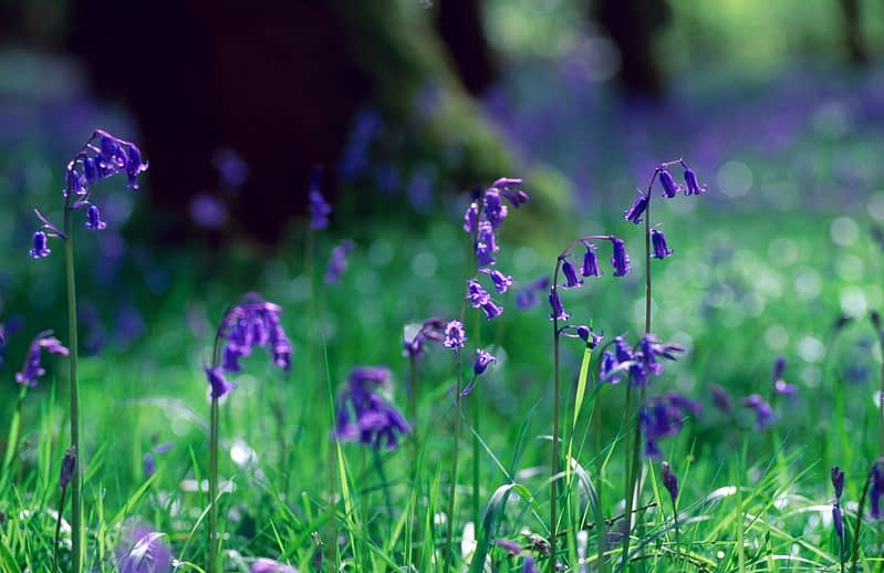 Spring bluebells, County Tyrone, Northern Ireland.