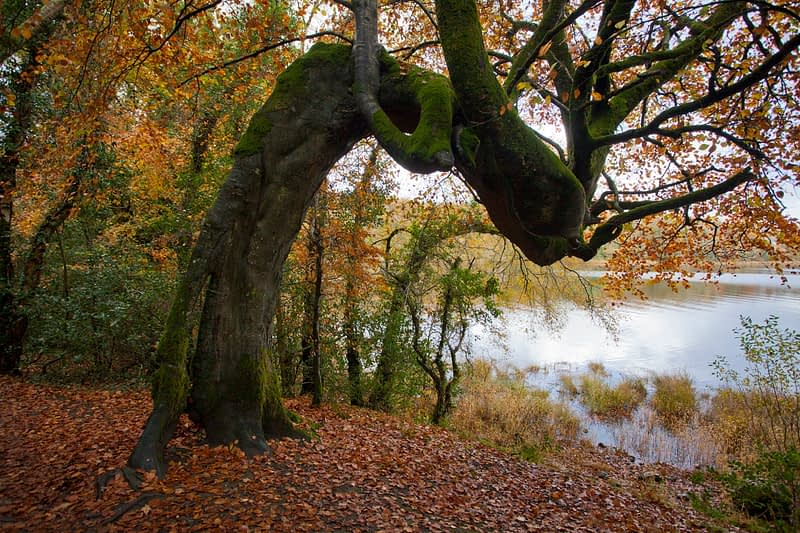 Autumnal tree on the banks of Lough Gill, Hazelwood, County Sligo, Ireland.