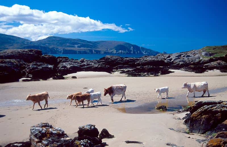 Cows crossing the beach at Rosbeg, Co Donegal, Ireland.