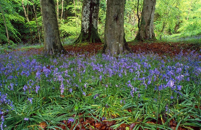 Bluebells and beech trees in Ness Wood Country Park, Co Derry, Northern Ireland.