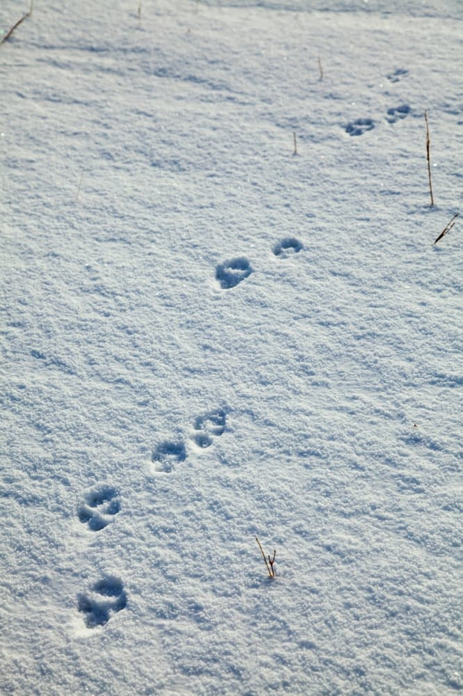 Fox footprints in the snow, Brandon Mountain, Dingle Peninsula, County Kerry, Ireland.