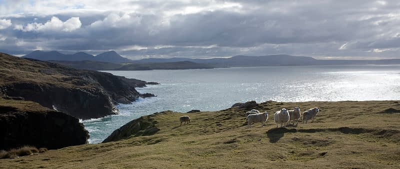 Sheep grazing on Horn Head, Co Donegal, Ireland.