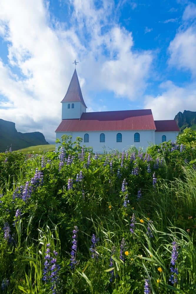 Blue Alaskan lupins beside Vik church, Sudhurland, Iceland.