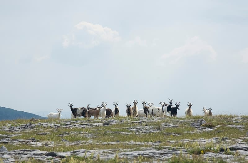 Herd of feral goats, Turlough Hill, The Burren, Co Clare, Ireland.