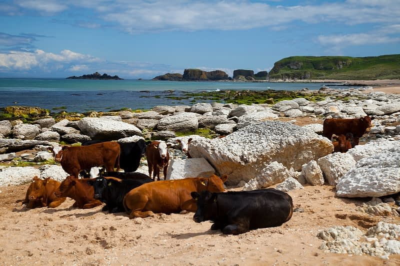 Cattle on the sands of Whitepark Bay, County Antrim, Northern Ireland.